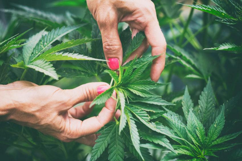 Woman controls marijuana plants